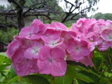 紫陽花2(2012-06-16)