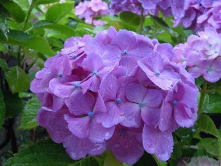 紫陽花3(2012-06-16)