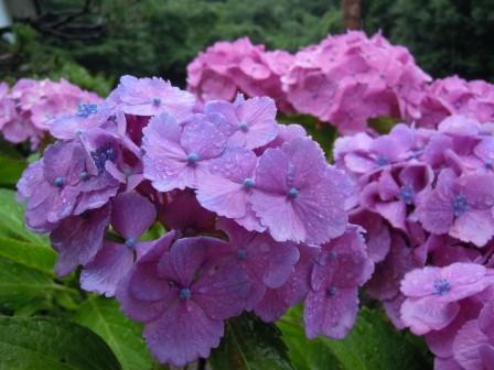 紫陽花4(2012-06-16)
