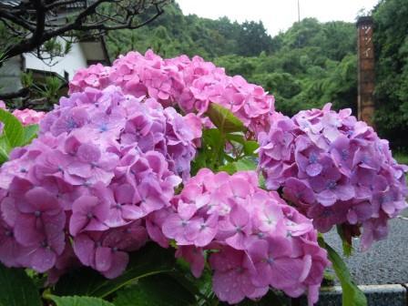紫陽花5(2012-06-16)