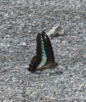 アゲハチョウ1(2012‐07‐22)