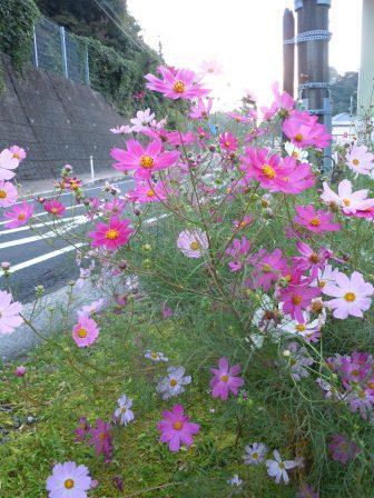 泉山バス停脇のコスモス(2012-10-13 06:29)