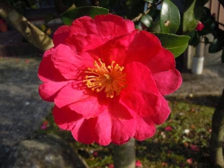 山茶花1(2012-12-23)