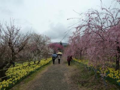 眞原桜並木2