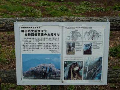 神田のイトザクラ2