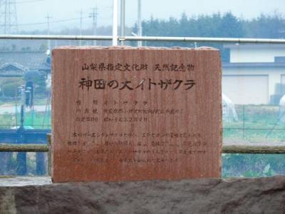 神田の大イトザクラ1
