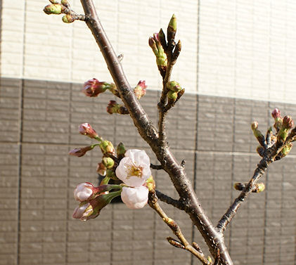 120402一番桜