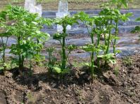 ウド来年の肥料用
