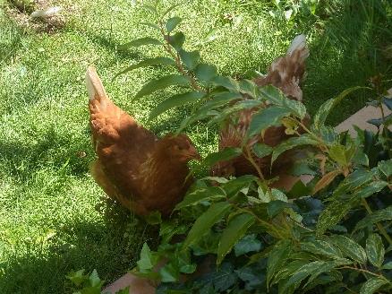 庭には二羽