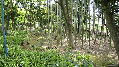 800px-BambooShoot.jpg