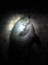 メジナ11012008