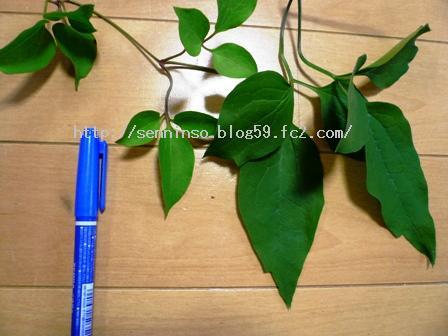 鉢植えの葉との比較1