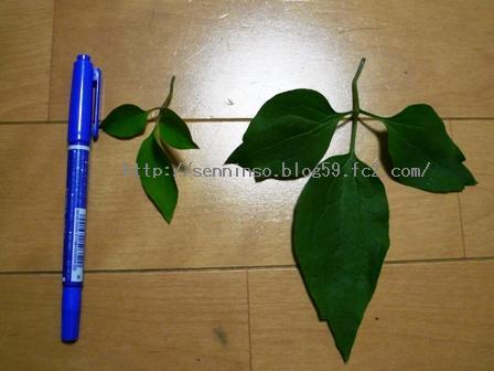 鉢植えの葉との比較2