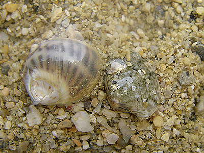 ホウシュノタマと二枚貝