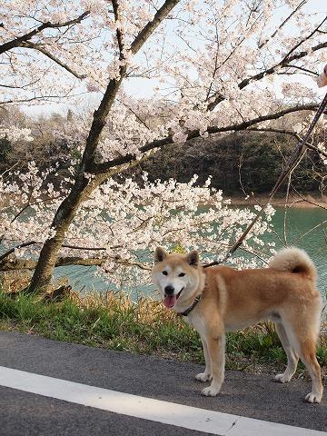 池と桜を背景に