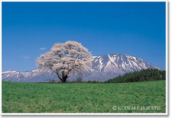 sakura_ph.jpg