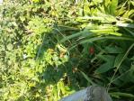 浜小清水原生花園ハマナスの実