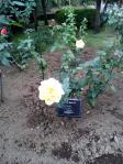 20111103旧古河庭園のバラ
