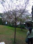 20111103十月桜・飛鳥山