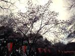 2012年上野公園の早咲き桜その2