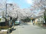 谷中霊園の桜その1