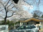 谷中霊園の桜その2