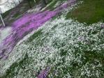 2012年東藻琴芝桜その5