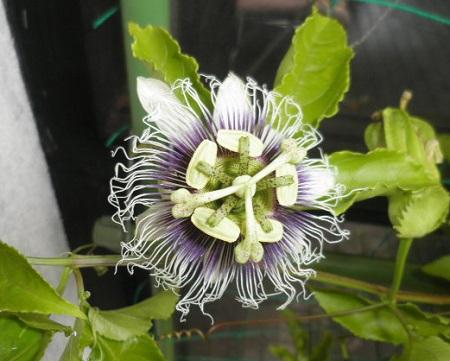 9-22パッションフルーツ花