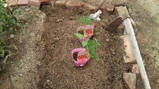 トマトの畑