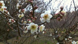 2012.03矢指・追分市民の森(桃の花)8