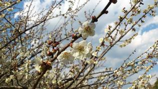 2012.03.25矢指・追分市民の森(菜の花)+(桃の花) 10