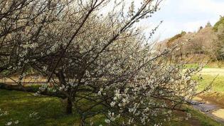 2012.03.25矢指・追分市民の森(菜の花)+(桃の花) 11