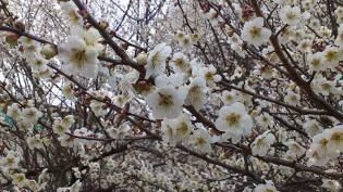 2012.03.25矢指・追分市民の森(菜の花)+(桃の花) 12