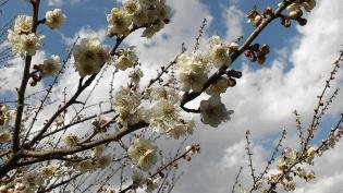 2012.03.25矢指・追分市民の森(菜の花)+(桃の花) 13