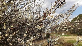 2012.03.25矢指・追分市民の森(菜の花)+(桃の花) 14