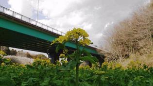 2012.03.25矢指・追分市民の森(菜の花)+(桃の花) 16