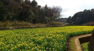 2012.03.25矢指・追分市民の森(菜の花)+(桃の花) 5