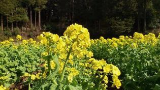 2012.03.25矢指・追分市民の森(菜の花)+(桃の花) 6