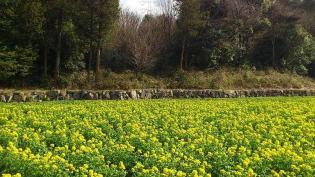 2012.03.25矢指・追分市民の森(菜の花)+(桃の花) 7