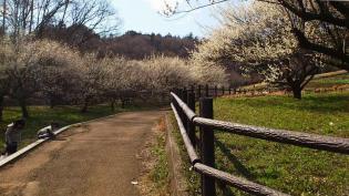 2012.03.25矢指・追分市民の森(菜の花)+(桃の花) 9