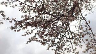 米海軍上瀬谷支援施設 日米親善桜まつり2012 4