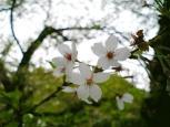 2011年、神奈川県大和市引地台公園の桜
