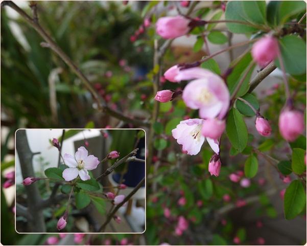 我家の開花