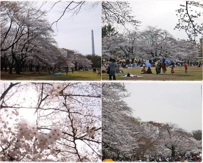 0323桜満開