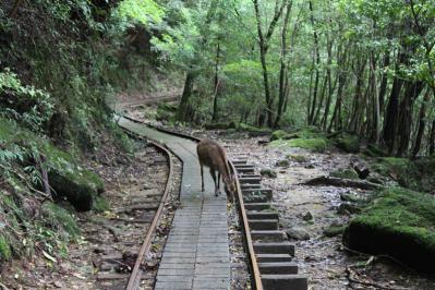 トロッコ道に鹿