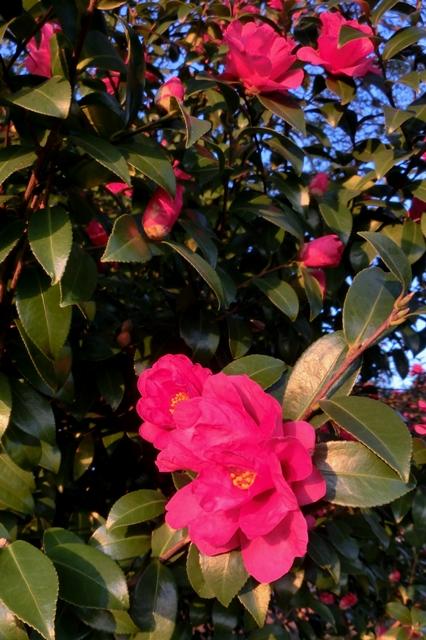 真っ赤な山茶花