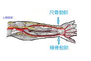 橈骨動脈と尺骨動脈