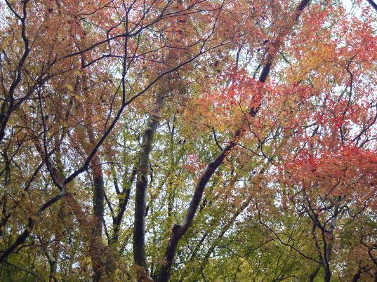 Pale red leafs