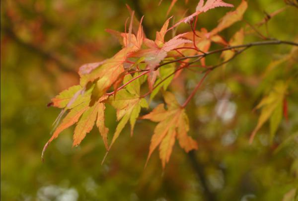Pale foliage