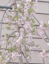 ハウスクリーニング屋さんちの近所桜